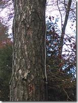 Kabelschellen an Baum genagelt